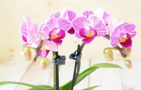 Jste unavení a nemáte chuť na sex? Na vině může být orchidej v ložnici!