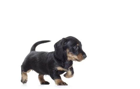 Než si přinesete domů štěně…