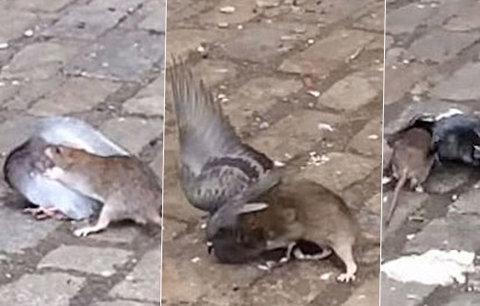Hnus! Potkan na ulici ulovil, zakousl a sežral holuba