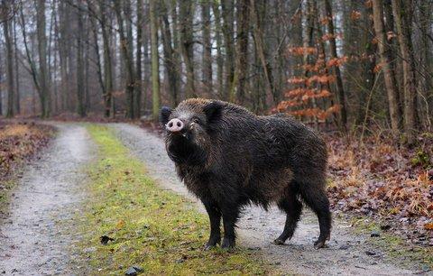 V Česku se objevila pseudovzteklina. Pes na Písecku se asi nakazil od divočáka