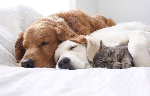Nejroztomilejší přátelství: Zlatí retrívři se přátelí s kočkou!