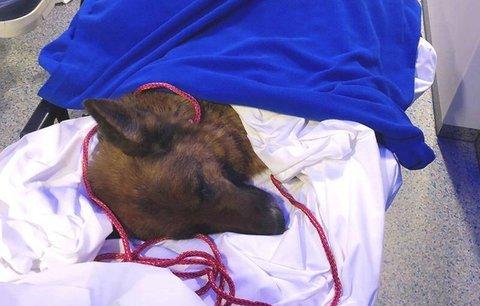 Fena utekla z veteriny a půl roku se toulala. Našli ji až ve Švýcarsku