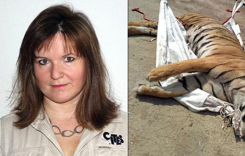 Mrtvolu tygra u Berouska ohledávala Pavla Říhová: Zbytečná smrt, říká. Zažila i zvířata zalepená izolepou