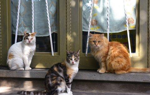 Kastrované kočky žijí déle, ukázala nová studie. Veterináři chtějí povinnou sterilizaci