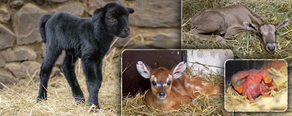 Babyboom v pražské zoo: Rodí se jak o závod!