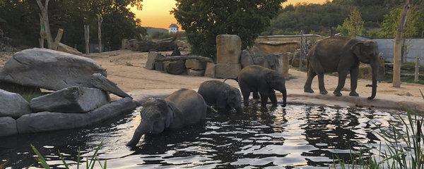 """Sloni z pražské zoo """"kempují"""" pod širákem! První noc zastrašili vyjící vlky, troubili jako o život"""