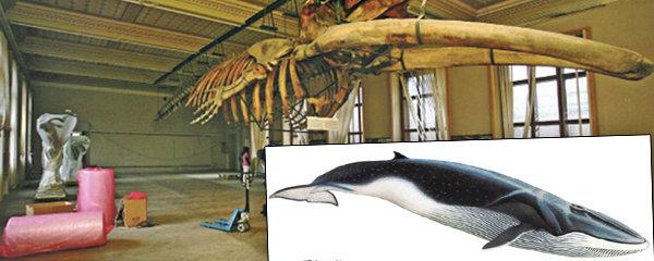 Kostra druhého největšího tvora planety v Národním muzeu: Plejtvák »připluje« už tento rok!