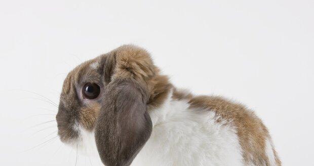 Zakrslý beran je nejroztomilejší druh zakrslého králíčka.
