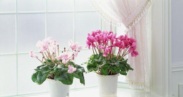 Bramboříky zkrášlí každé okno a při dobré péči vydrží mnoho let.