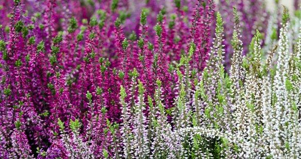 Vřesoviště patří k oblíbeným výsadbám v zahradách. Není se čemu divit, zahradu totiž prozáří nádherným ohňostrojem barev!