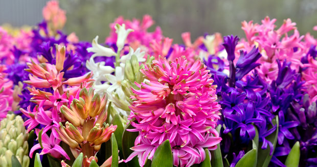 Hyacinty jsou nádhernou ozdobou