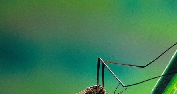 Komáři mohou přenášet lymskou boreliózu
