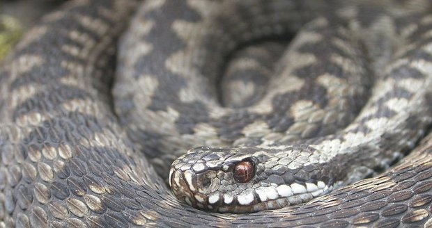 Uštknutí zmije může být nebezpečné pro malé děti a lidi se zdravotními komplikacemi.