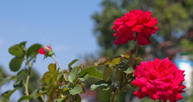 Rez růžová se objevuje na  jaře na listech.