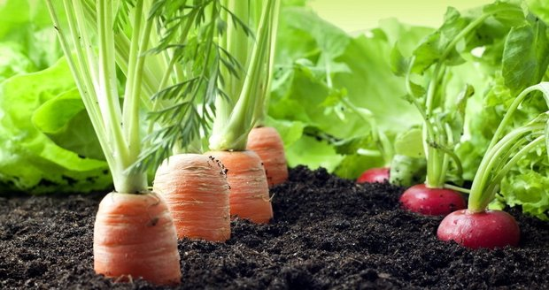 Na venkovní záhony už můžete dát odolnější druhy zeleniny.