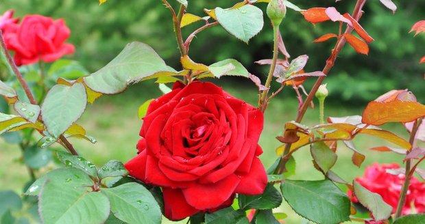 Růže před zimou naposledy přihnojte.