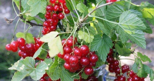Věděli jste, že ovocné keře si můžete snadno namnožit sami?