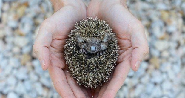 Když má ježek v polovině října méně než 400 gramů, potřebuje naši pomoc.