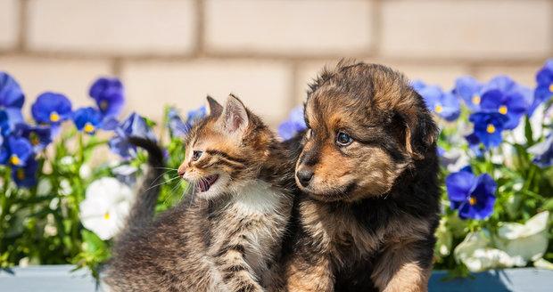 Chcete mít doma psa i kočku? Nejlépe si na sebe zvyknou, když si pořídíte kotě a štěně společně.