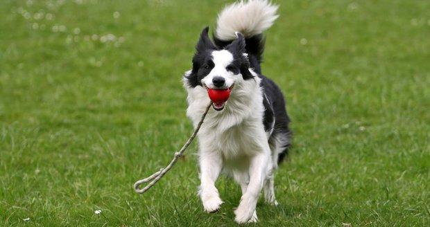 Psi mohou chytit blechy nejen od ostatních psů, ale také od ježků během venčení v přírodě