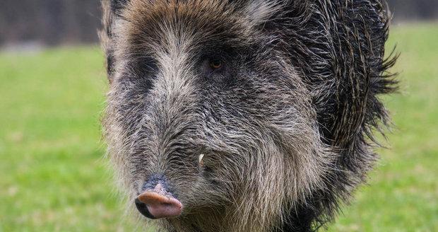 Divoká prasata se množí a s nimi i dopravní nehody.
