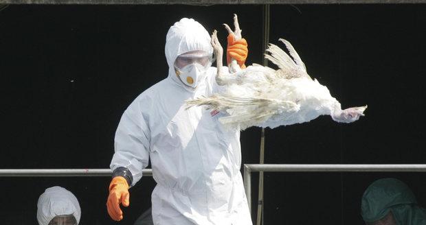 Ptačí chřipka v Česku: Nákaza je na Znojemsku i u Brna, začalo vybíjení drůbeže