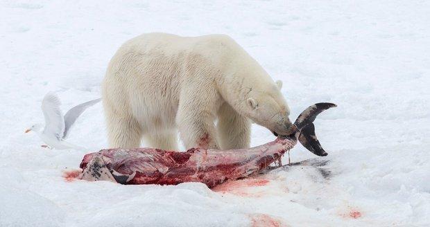 Lední medvědi žerou delfíny! Kvůli oteplování šelmy mění jídelníček