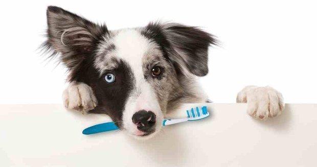 Jako u každé prevence je i v případě čištění chrupu dobré začít dříve, než začnou problémy, a psa na něj postupně navykat.