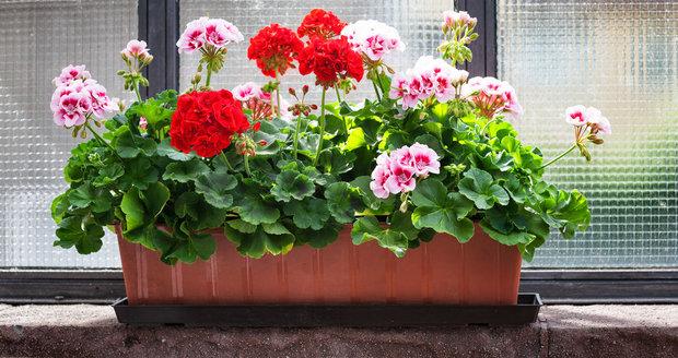 Pokud chcete, aby kvetoucí muškáty váš balkon zdobily až do listopadu, rozhodně jim teď dopřávejte pravidelnou zálivku.