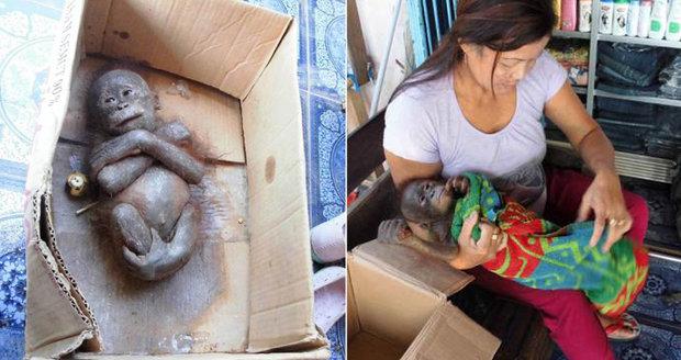 Jako mumifikovaný! Orangutánka na pokraji smrti našli v papírové krabici