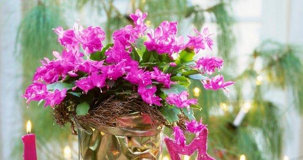 Rozkvetlý vánoční kaktus nádherně ozdobí například sváteční tabuli.