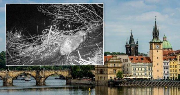 Návrat po dvou stoletích. V Praze našli bobry, na Vltavě si postavili hrad