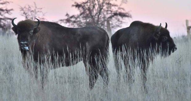 Bývalý vojenský prostor v Milovicích se plní zvířaty: Divocí koně, pratuři a teď zubři