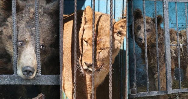 Nejsmutnější zoo světa: Zvířata v ní přežívají na zbytcích z jatek. Lvice šílenstvím bouchá hlavou o klec