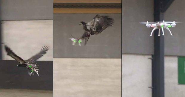 V Nizozemsku cvičí orly, aby chytali drony.