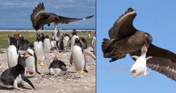 Hejno ho neubránilo: Drzý pták odnesl tučňáčí mládě