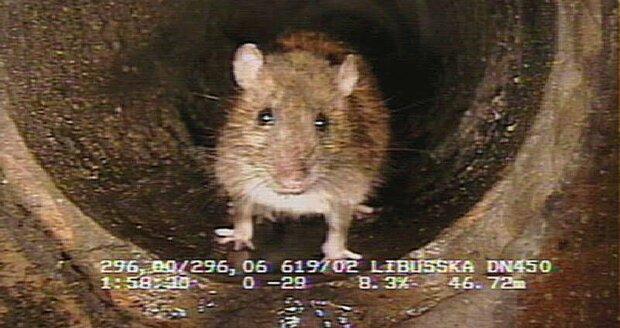 Prahu trápí miliony potkanů ročně.