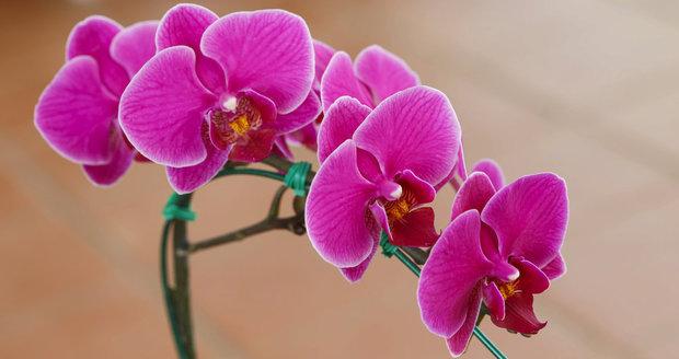 jak zalévat orchidej
