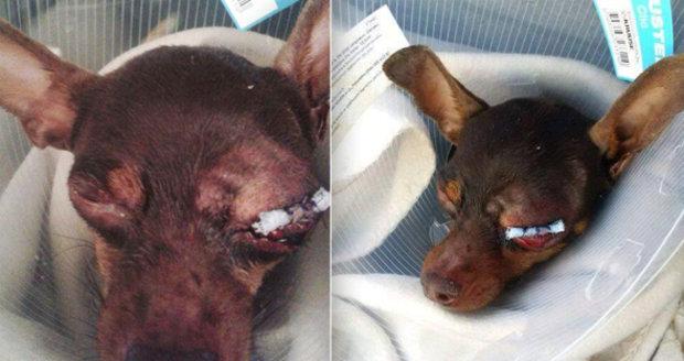 Tři děti v Blansku polily psíka kyselinou a zbily ho klackem: Předstíraly, že si ho chtějí pohladit, tvrdí majitelka