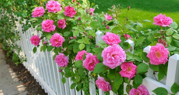 """""""Chceš-li udělat radost, daruj růži,"""" říká staré přísloví. A když ji navíc sami vypěstujete, bude ta radost dvojnásobná."""