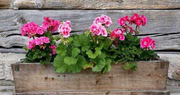Pelargonie patří k nejoblíbenějším truhlíkovým květinám.