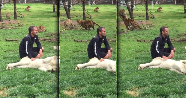 Tygr zachránil ošetřovatele před útokem levharta, šelma po něm šla zezadu