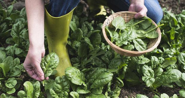 Mladý čerstvý špenát je skvělý jen tak syrový v salátech nebo zasmahnutý na pánvi jako příloha.