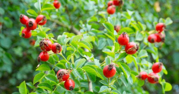 Šípkový čaj posílí vaši odolnost vůči chřipce a dalším infekčním chorobám.