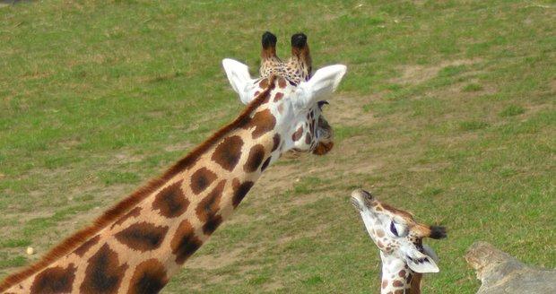 Žirafa se dostala na seznam ohrožených zvířat. V přírodě jich není ani sto tisíc