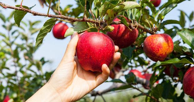 Jablek je letos víc a jsou kvalitnější, libují si na jihu Čech
