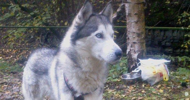 Krásného sibiřského huskyho nechal důchodce vlastnímu osudu. Přivázal ho ke stromu a odešel.