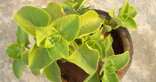 Voňavá bylinka je na pěstování poměrně nenáročná.