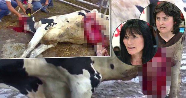Brutální porody i skalp zaživa: Ochránci rozkryli krutý vývoz dobytka