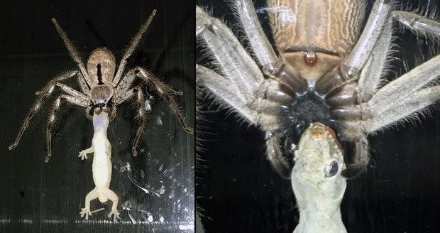 Australokalypsa: Obří pavouk požírá ještěrku!